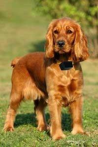 collar antiladridos  ultrasonico perro chico petsafe
