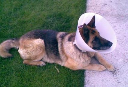 collar isabelino tradicional 30 cm perros grandes /pharmavet