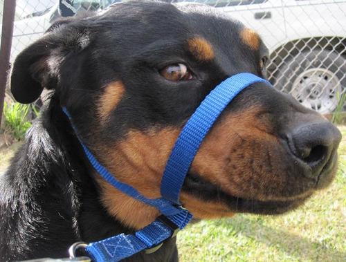 collar para perro tipo gentle lead - xolo strap
