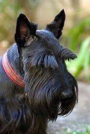 collar y correa para scottish terrier escoses