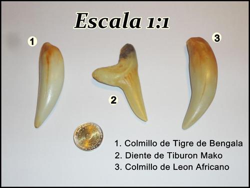 colmillo de leon africano en resina