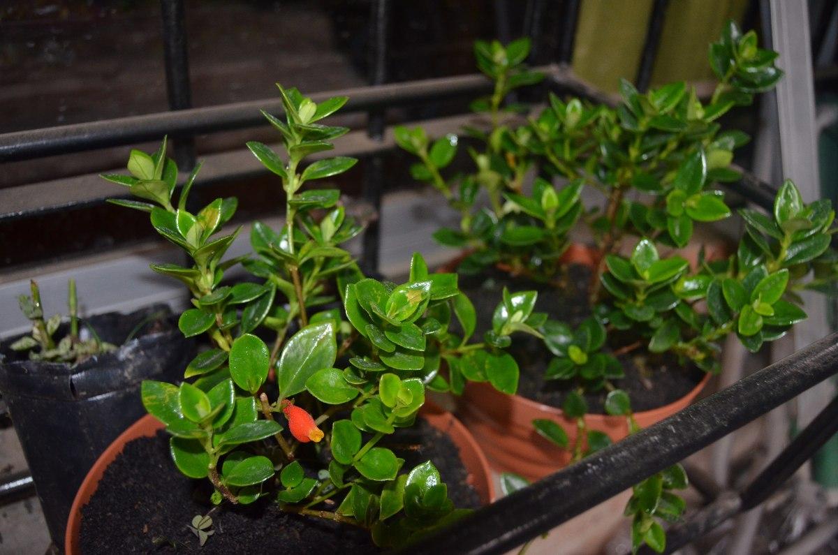 Columnea planta en mac colgante para interior 390 00 - Plantas crasas colgantes ...