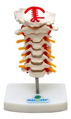 coluna cervical esqueleto modelo anatomia