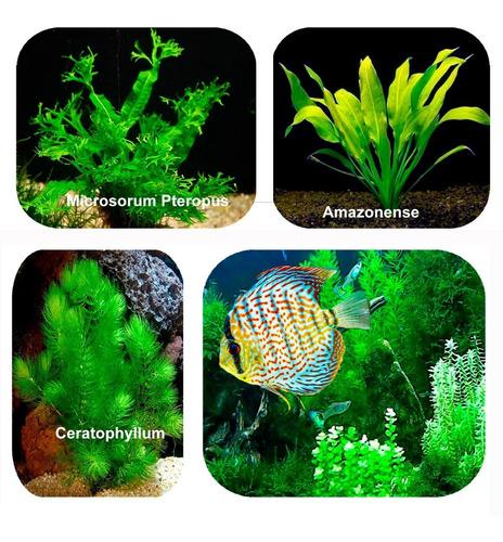 combo 1 amazonense 1 samambaia de java 1 ceratophyllum frete