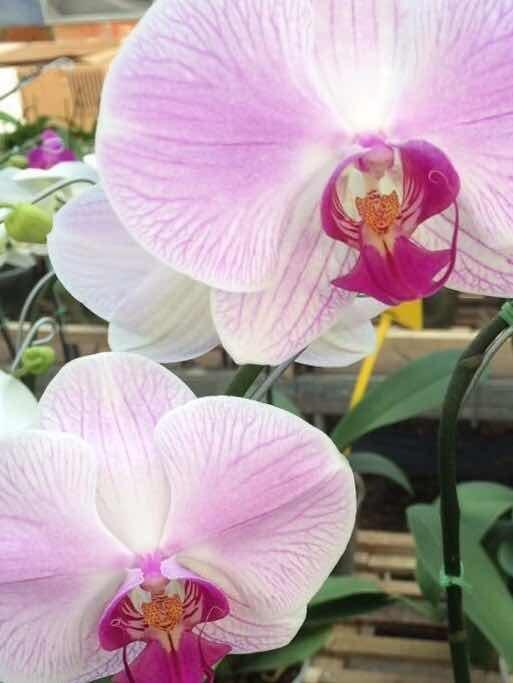 regala orquidea phalaenopsis en flor con hasta 6 flores 650 00