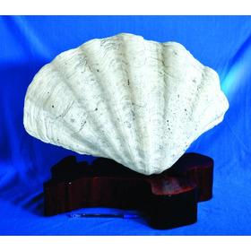 Concha Shell Gigante Rara Natural Original Marinha Únic Lind