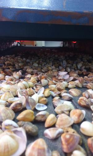 conchas de guacucos para acuarios y decoración
