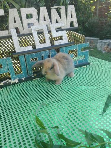 conejito raza holland lop color arlequin macho nuevo valor