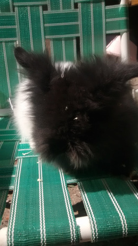 conejitos cabeza de león d tres meses y medio.