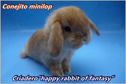 conejitos de mascota:minilop