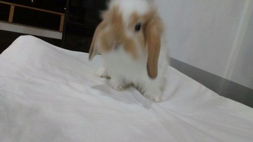 conejitos mini lop (la molina)