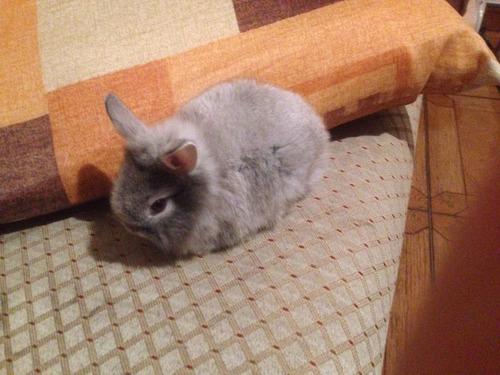 conejo belier california nueva zelanda gigante azteca angora