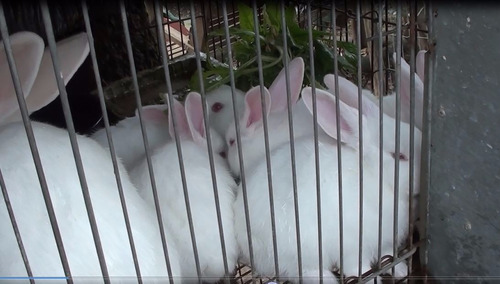 conejo gazapo varios edades