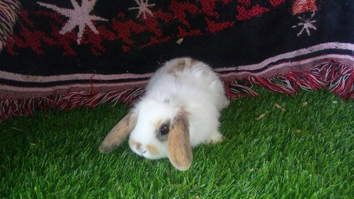 conejo loop o belier ¨la granjita salinas¨