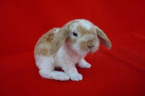 conejo minilop(rex lop):criadero  happy rabbit of fantasy