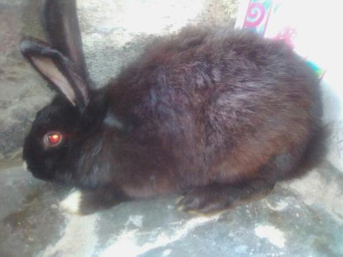 conejo negro de 2.5kg