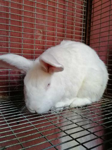 conejo neozeholandes