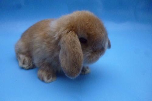 conejo:conejitos enanos de mascota minilop(orejitas caídas)