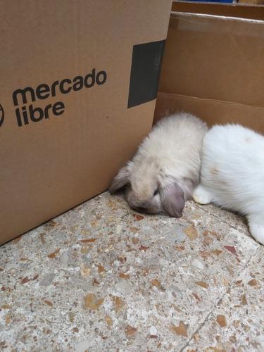 conejos belier(orejas caidas)