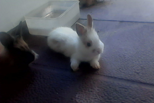 conejos enanos