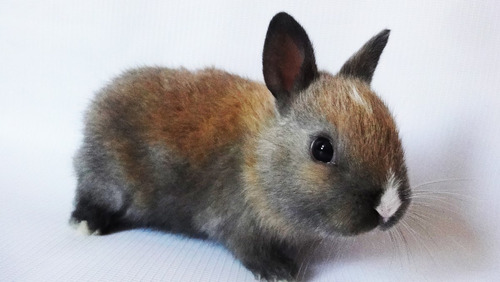 conejos enanos + alimento premium x 1kg para conejos