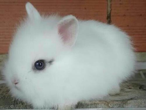Conejos enanos cabeza de le n en mercado libre - Casas para conejos enanos ...