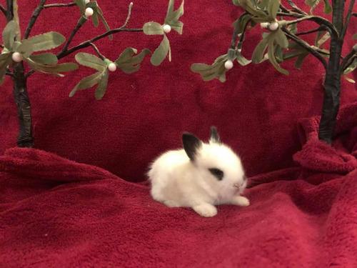 conejos enanos criados a mano muy sociables