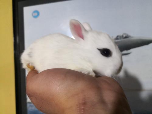 conejos enanos de hotot