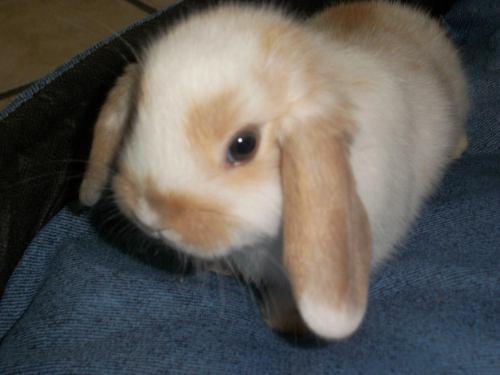 ficha Saphira Welkin (Terminada) Conejos-enanos-holand-lop-D_NQ_NP_13617-MLA98005634_835-O