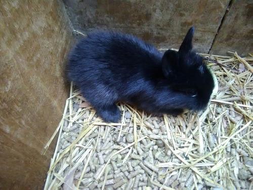 conejos enanos para mascota toy