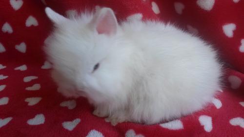 conejos enanos teddy de un mes de edad