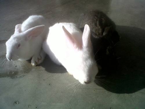 conejos gazapos para pie de cria venta pdf manual