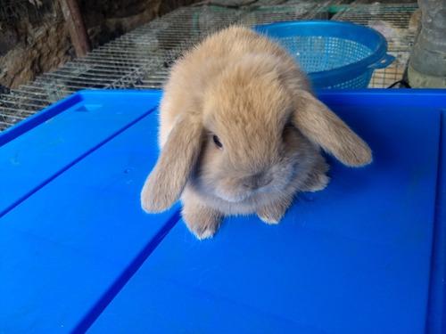 conejos mascota mas