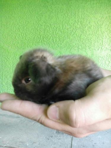 conejos minilop
