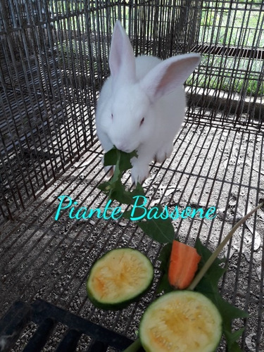 conejos neozelandes - californiano -  gazapos