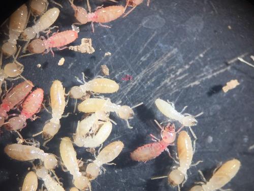 control de termitas, control de plagas, insectos, ratas, etc