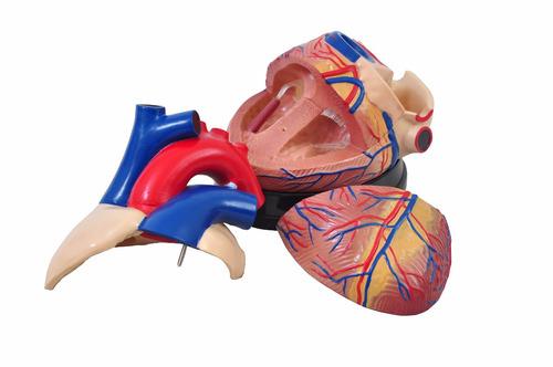 coração ampliado em 3 partes modelo anatômico humano heart