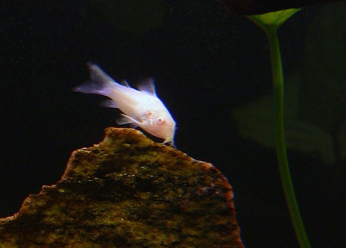 coridora albina surtida!!!!! oferta elegi mundo acuatico
