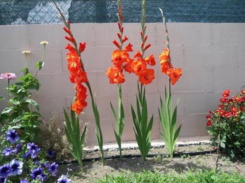 cornos / semillas de gladiolos