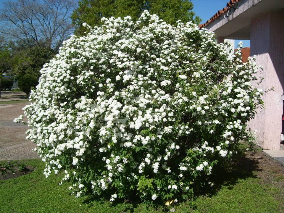Coronita de novia perfumada arbusto trepador ideal for Arbustos con flores