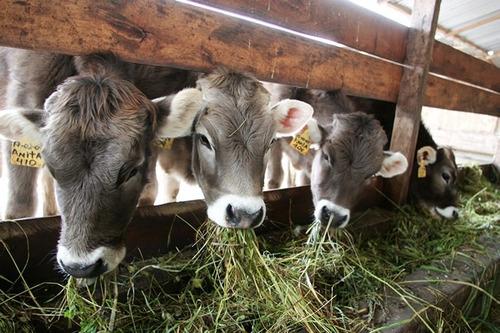 corrida financiera :  cria de  bovinos semi-estabulados
