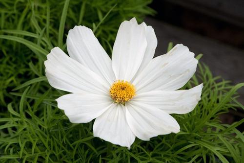 cosmos purity - pure white - branco puro flor 20 sementes