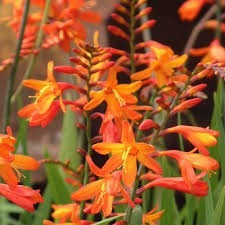 cracosmias naranjas multiples 3ltrs plantas