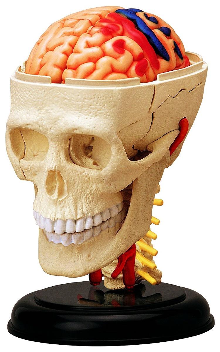 Cráneo Craneal Anatomía Humana - $ 704.00 en Mercado Libre