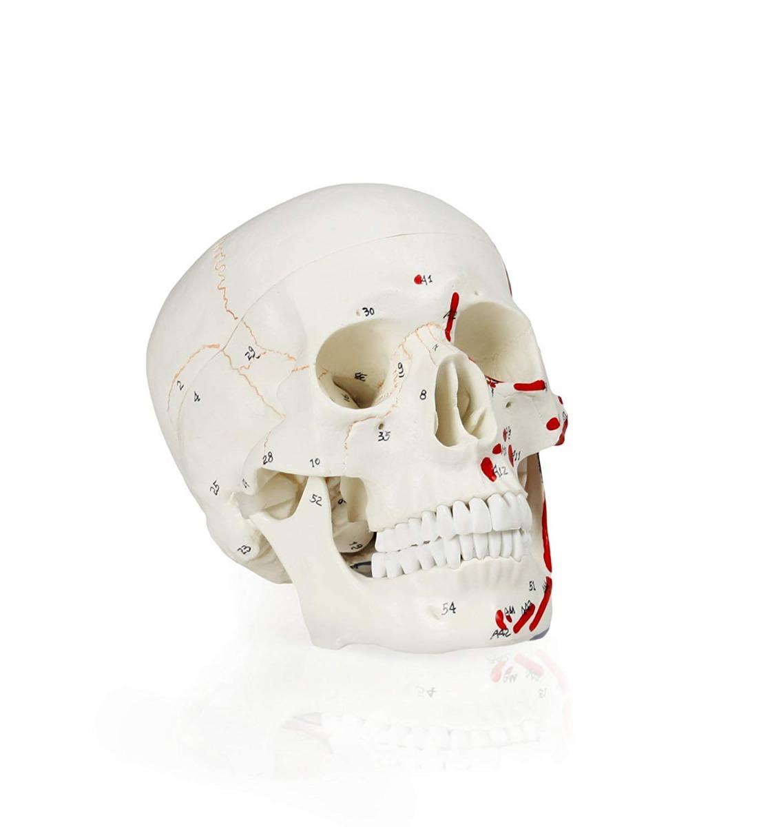 Cráneo Humano Desarmable Tamaño Natural Marcado Envío Gratis ...