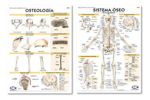 cráneo humano didactico escala real - con huesos de colores