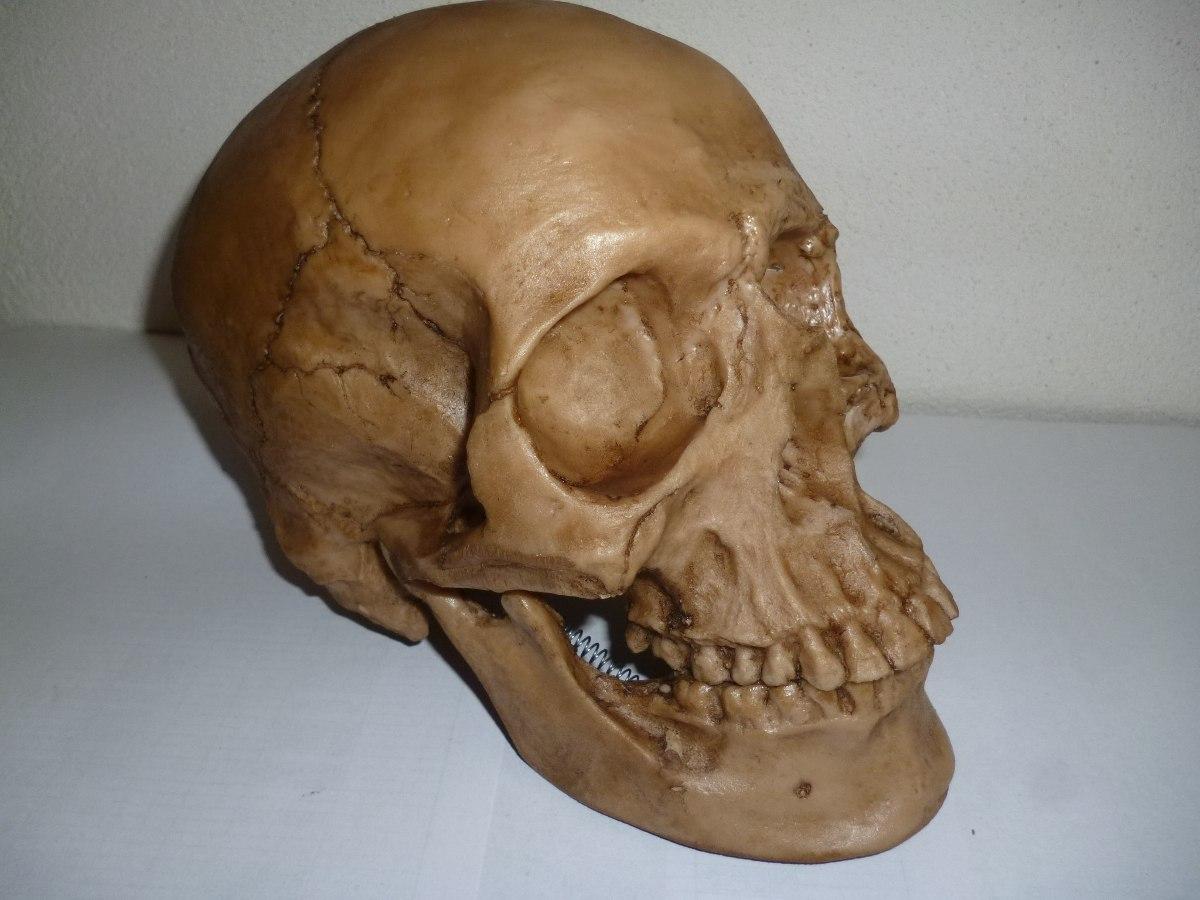 Moderno Delante Cráneo Humano Ideas - Anatomía de Las Imágenesdel ...