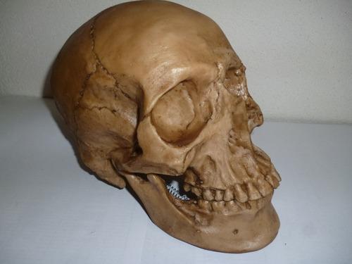 craneo humano  grande de resina