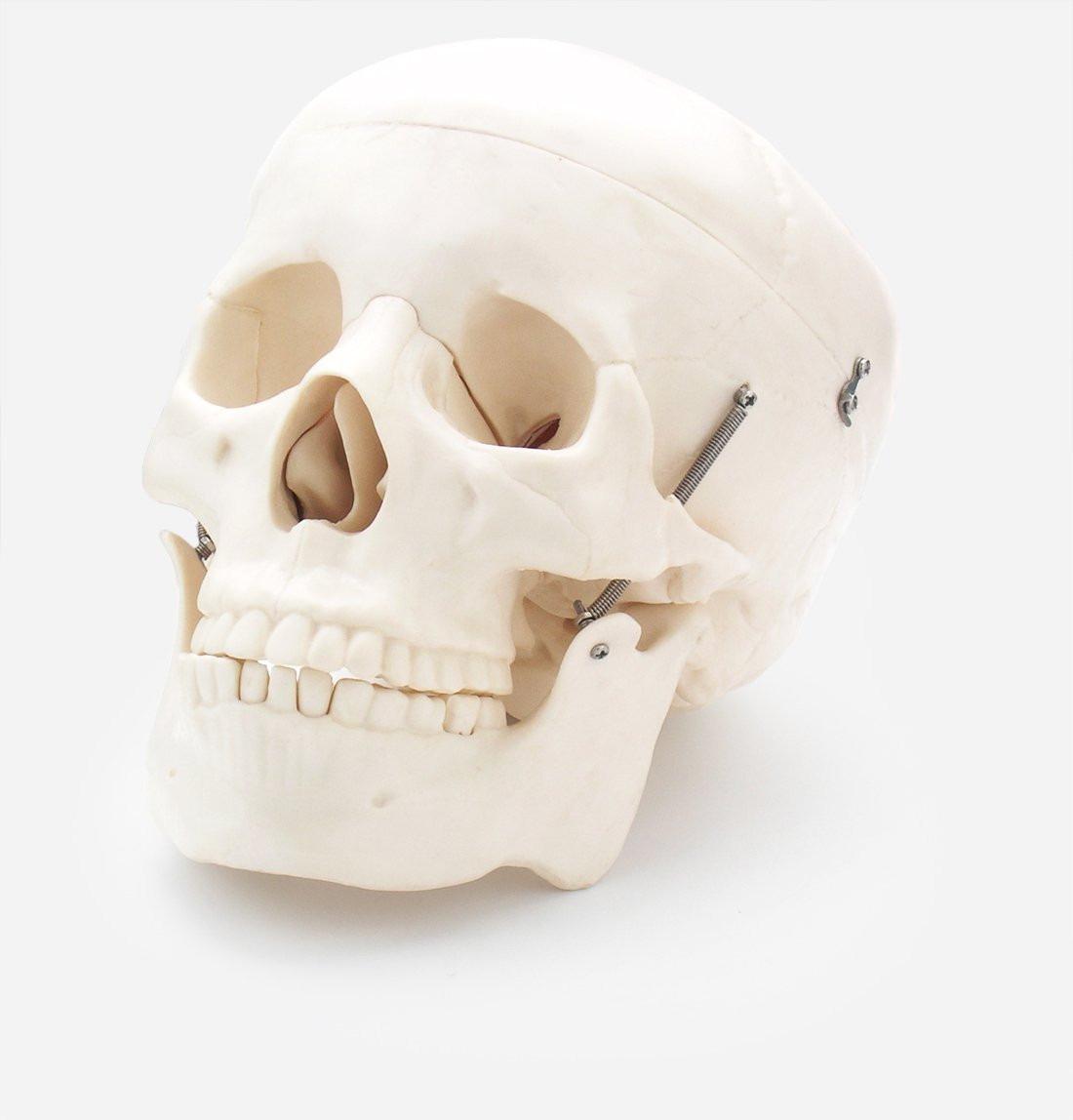 Contemporáneo Marcado Anatomía Cráneo Componente - Anatomía de Las ...