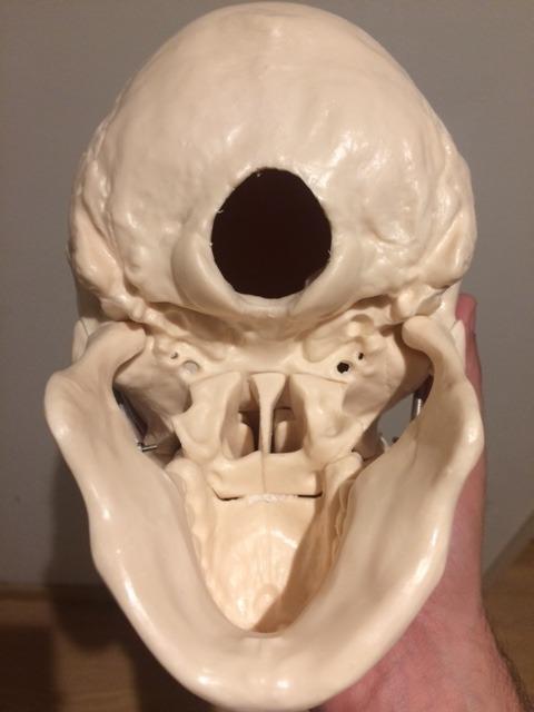 Craneo Humano Medicina Anatomia Kinesiologia Osteopatia - $ 639,99 ...